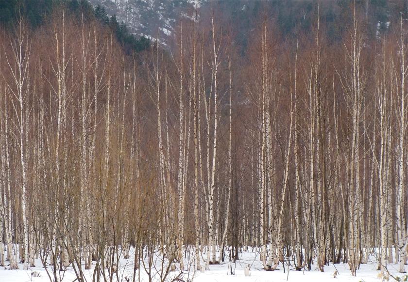 birches horz