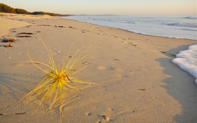 spinifex beach