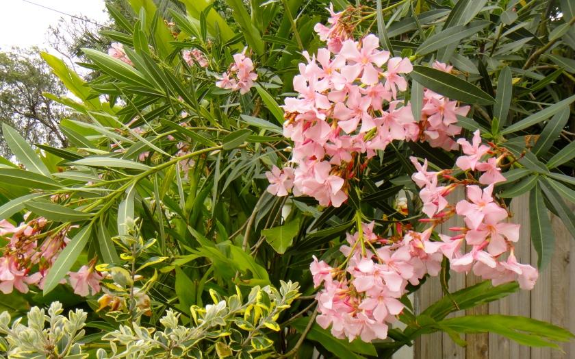 oleanders