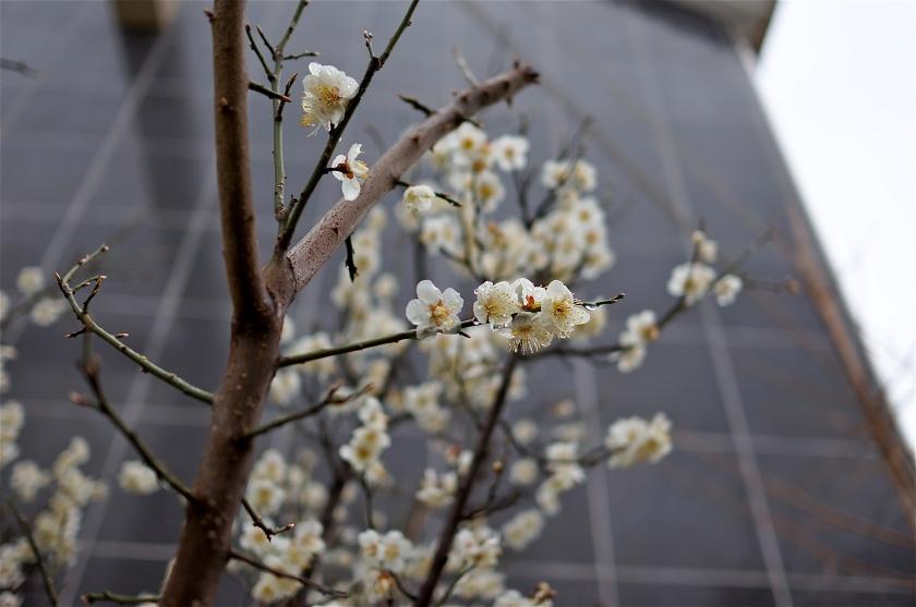 plum blossom korea