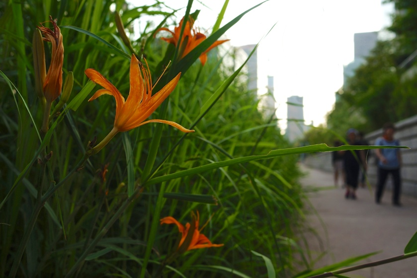 orange lilies cheonggyecheon seoul