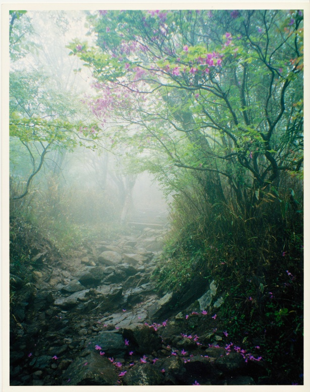 Azaleas on a foggy mountain-top in the Tanzawa region