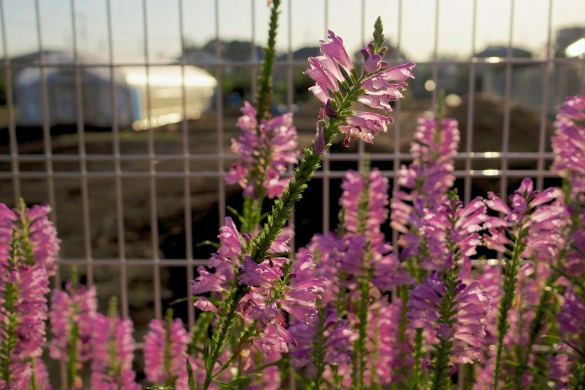 pink roadside flowers tokyo
