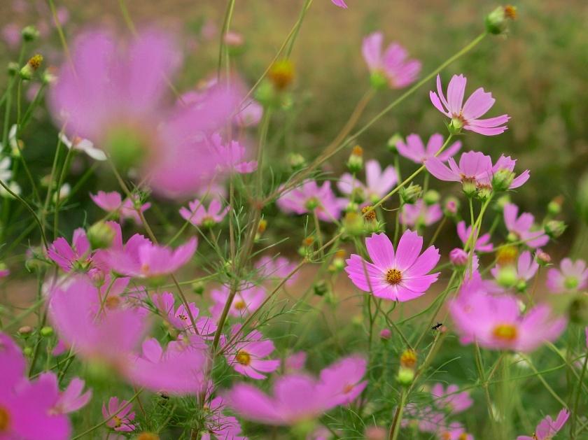 pink cosmos flowers, korea