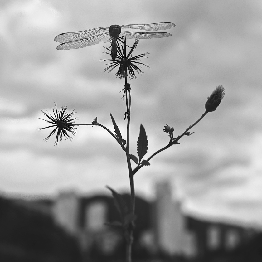 b & w dragonfly in burr plant evening korea
