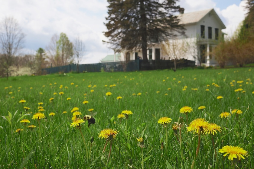 Dandelion pasture, Wing Road Farm