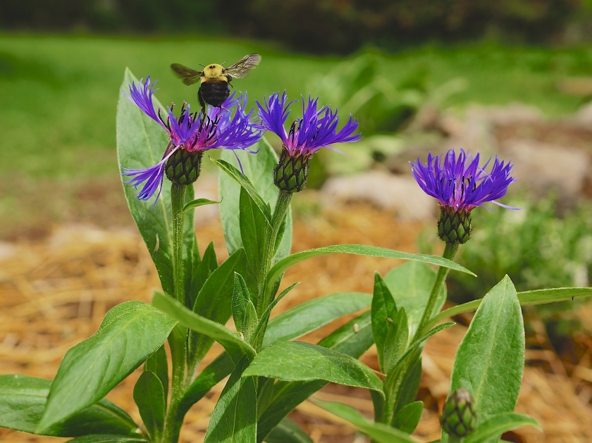 Centaurea flowers in one of our new perennial beds.