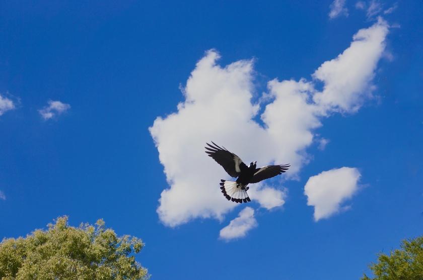 magpie & blue sky