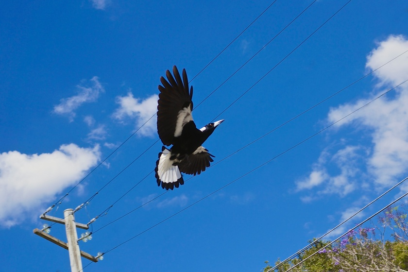 swooping magpie blue sky