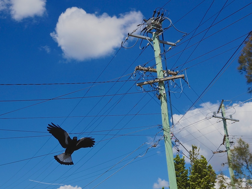 swooping magpie & wires