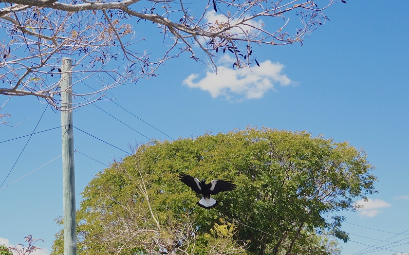 swooping magpie & tree