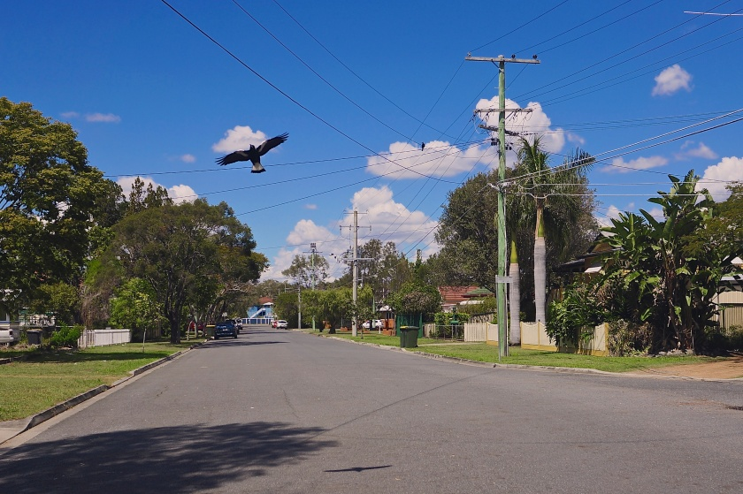 magpie swooping on street