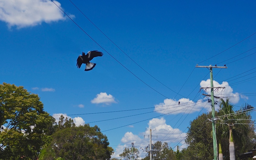 magpie flying under wires