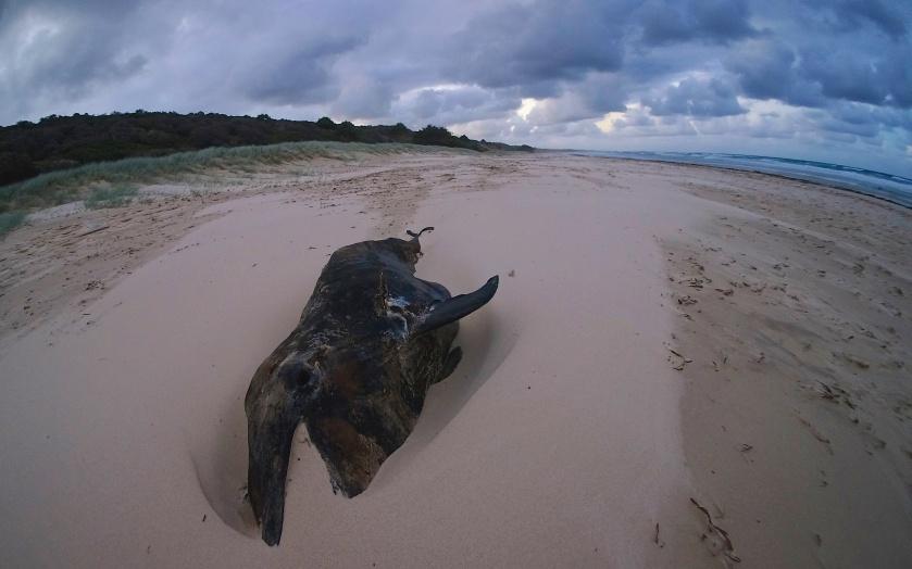 dead dolphin moreton island