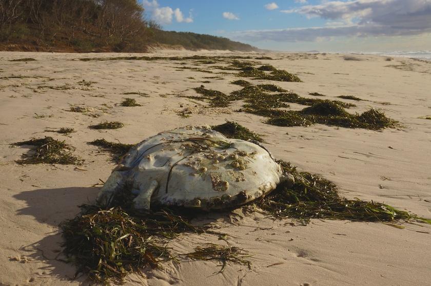 dead turtle moreton island