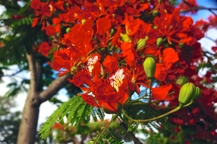 "Everything about the poinciana in Summer screams ""Look at me! I'm special!"""