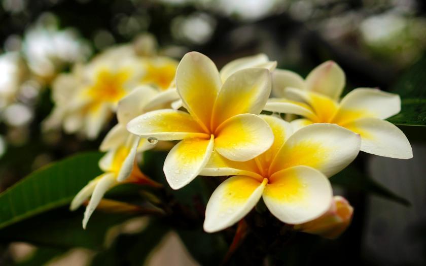 frangipani blossom after rain