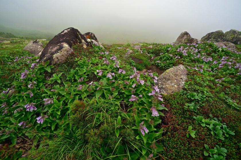 alpine wildflowers in rain hokkaido