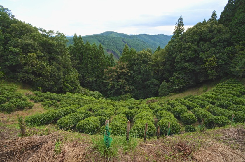 A small trailside tea plantation near Hongu Taisha.