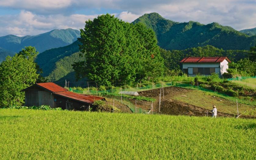 rice paddy kohechi